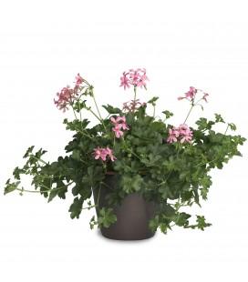 """Pelargonium peltatum """"Villa Paris"""""""