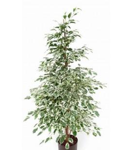"""Ficus benjamina """"Gantel"""""""