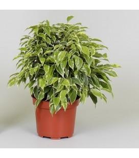 """Ficus benjamina """"Kinky"""""""