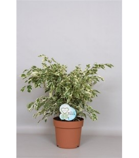 "Ficus benjamina ""Bushy King"""