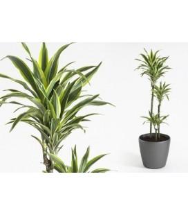 "Dracaena deremensis ""Lemon"""