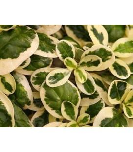 Coprosma variegata