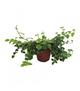 Ficus pumila/repens